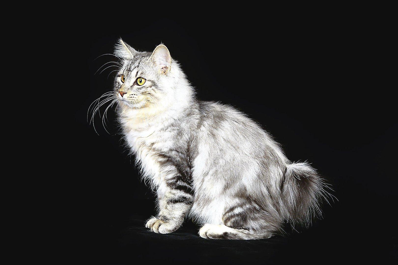 Keistos ir retos kačių veislės, kurių matyti dar neteko ...